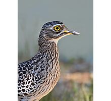 Thick-knee....... Photographic Print