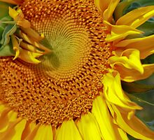 Sunflower Close by Amanda Reed