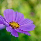 Purple Wonder by Amanda Reed