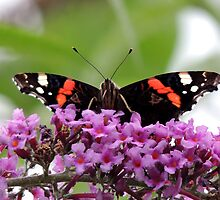 Red Admiral Butterfly 03 by Magic-Moments