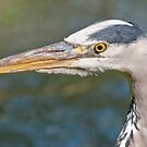 Grey Heron Portrait by Margaret S Sweeny