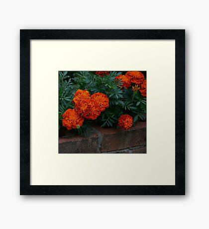 Marigolds Framed Print