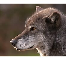 Profile of a Wolf Photographic Print