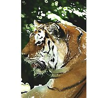 Tiger Resting Photographic Print