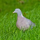 Wood Pigeon by M.S. Photography & Art