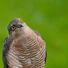 Sparrow Hawk Portrait by Margaret S Sweeny