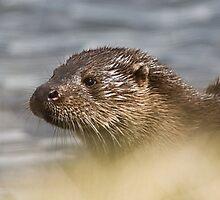 Otter Through the Grass by cjdolfin