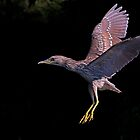 Juvenile Black-crowned Night Heron by Jim Cumming