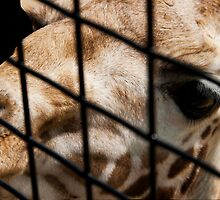 Raffe behind bars by Monjii