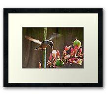 Hummingbird In Flight Part Deaux Framed Print