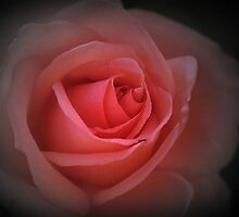 English red rose by swcphotography