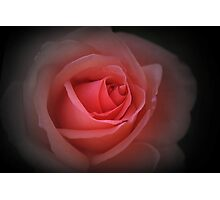 English red rose Photographic Print