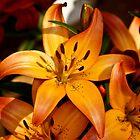 Orange Lili by pcfyi