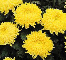 Yellow Chysanthemum's by Forfarlass