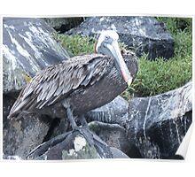 Brown pelican 6. Poster