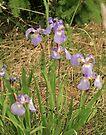 Wild Iris on Dyea Flats by Yukondick