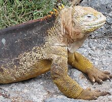 Land iguana1. by Anne Scantlebury