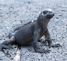 Marine iguana 2. by Anne Scantlebury