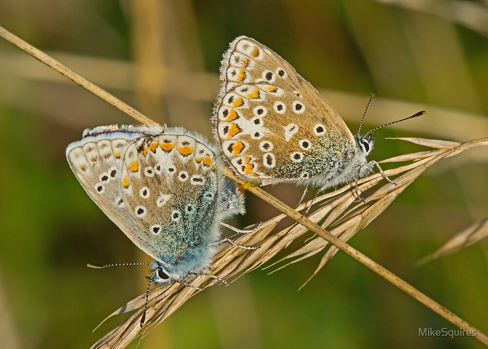 Common Blue Butterflies by MikeSquires