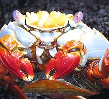 Sally lightfoot crab 1. by Anne Scantlebury