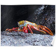 Sally lightfoot crab 3. Poster