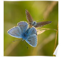 Common Blue Butterflies Poster