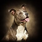 The American Blue Pit-Bull by Lover1969