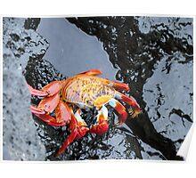 Sally lightfoot crab 5. Poster