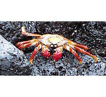 Sally lightfoot crab 6. Photographic Print