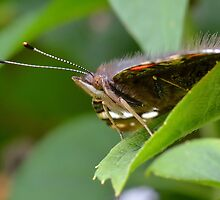 Red Admiral Butterfly Profile     by relayer51