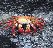 Sally lightfoot crab 7. by Anne Scantlebury