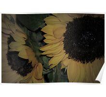 Softer Sunflower Poster