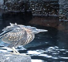 Striated heron 1. by Anne Scantlebury