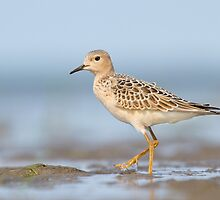 Buff-breasted Sandpiper. by Daniel Cadieux