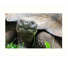 Giant tortoise. Art Print
