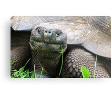Giant tortoise. Metal Print