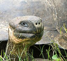 Giant tortoise 1. by Anne Scantlebury