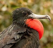 Male Magnificent Frigatebird by Paul Wolf