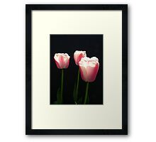 three pink tulip flowers in black background Framed Print