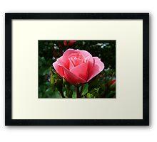 Single pink rose flower Framed Print