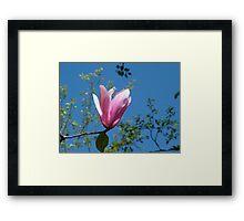 Single pink magnolia flower in blue sky Framed Print