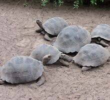 Tortoises. by Anne Scantlebury