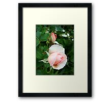 light pink rose flowers Framed Print
