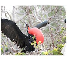 Frigate bird 1. Poster