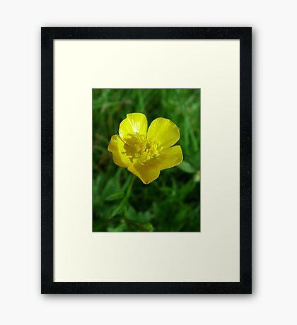 wild yellow flower, buttercup Framed Print