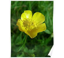 wild yellow flower, buttercup Poster