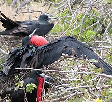 Frigate bird 4. by Anne Scantlebury
