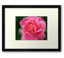 pink rose flower, floral nature photography. Framed Print