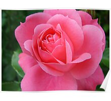 pink rose flower, floral nature photography. Poster