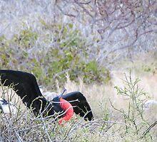 Frigate bird 7. by Anne Scantlebury